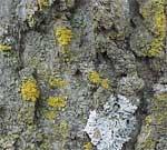 A crustose lichen