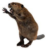 Mr. Beaver says Hello!